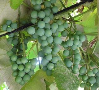 grape2020.jpg