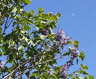 lilactree.jpg